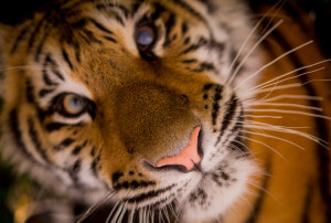Is your cat more the size of a jungle tiger than a domestic kitty?