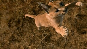 The caracal in 'flight'